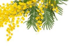 Cierre de la rama de la mimosa para arriba Foto de archivo libre de regalías