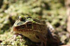 Cierre de la rana de leopardo para arriba Imagenes de archivo