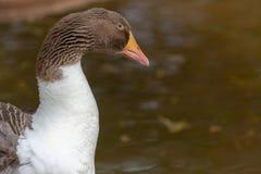 Cierre de la respuesta del anser del ganso de ganso silvestre para arriba de la cabeza marrón, del pico anaranjado y de las pluma imagenes de archivo