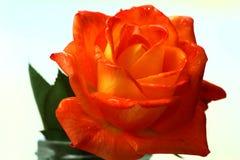 Cierre de la rosa de la naranja para arriba Fotos de archivo