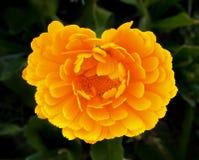 Cierre de la rosa del amarillo para arriba Imagen de archivo libre de regalías