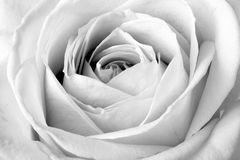 Cierre de la rosa del blanco para arriba Imagen de archivo libre de regalías