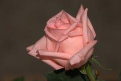 Cierre de la rosa del color de rosa para arriba Imagen de archivo