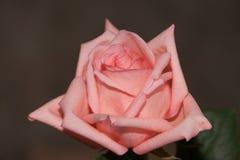 Cierre de la rosa del color de rosa para arriba Fotografía de archivo libre de regalías