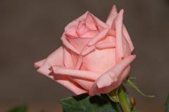 Cierre de la rosa del color de rosa para arriba fotos de archivo libres de regalías
