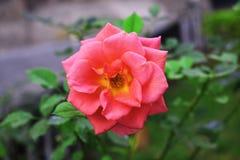 Cierre de la rosa del rosa para arriba con el centro amarillo fotos de archivo
