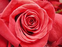 Cierre de la rosa del rojo para arriba Foto de archivo libre de regalías