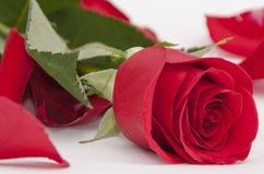 Cierre de la rosa del rojo para arriba Fotografía de archivo libre de regalías