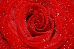 Cierre de la rosa del rojo para arriba Fotografía de archivo