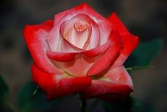 Cierre de la rosa del rojo para arriba en fondo oscuro imagen de archivo