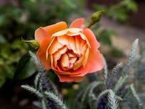 Cierre de la rosa de la naranja para arriba fotografía de archivo