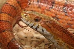 Cierre de la serpiente de maíz para arriba Fotos de archivo