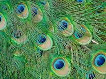 Cierre de la textura de la cola de Peacok para arriba Fotos de archivo libres de regalías