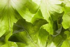 Cierre de la textura de la hoja de la ensalada verde encima de la macro Fotografía de archivo
