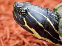 Cierre de la tortuga del resbalador encima de la cara principal Fotos de archivo libres de regalías