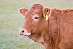 Cierre de la vaca encima - de la raza de Lemosín fotos de archivo