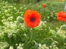 Cierre de las flores y de los brotes de la amapola para arriba foto de archivo