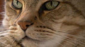 Cierre de los ojos y de la nariz de gatos encima del retrato almacen de video