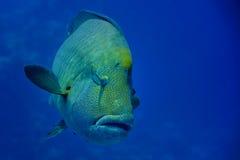 Cierre de Napoleon Fish del Mar Rojo encima del retrato Imagen de archivo libre de regalías