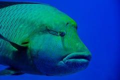 Cierre de Napoleon Fish del Mar Rojo encima del retrato Fotos de archivo libres de regalías