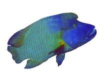 Cierre de Napoleon Fish encima del retrato Fotografía de archivo libre de regalías