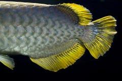 Cierre de oro de la cola del arowana para arriba fotografía de archivo