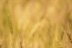 Cierre de oro del campo de trigo de la falta de definición para arriba Imágenes de archivo libres de regalías