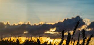 Cierre de oro del trigo de los oídos del campo de trigo wallpaper foto de archivo