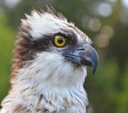 Cierre de Osprey para arriba Fotos de archivo libres de regalías