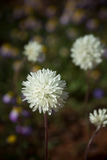 Cierre de papel eterno blanco de la margarita del wildflower nativo de Australia occidental solo para arriba Fotos de archivo