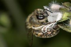 Cierre de polinización del extremo de la flor de la albahaca de la abeja para arriba Imagen de archivo libre de regalías