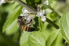 Cierre de polinización del extremo de la flor de la albahaca de la abeja para arriba Fotos de archivo libres de regalías