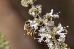 Cierre de polinización del extremo de la flor de la albahaca de la abeja para arriba Fotos de archivo