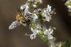 Cierre de polinización del extremo de la flor de la albahaca de la abeja para arriba Fotografía de archivo