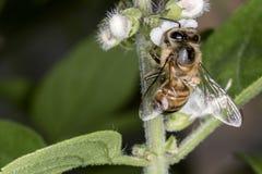 Cierre de polinización del extremo de la flor de la albahaca de la abeja para arriba Imagenes de archivo