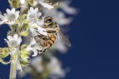 Cierre de polinización del extremo de la flor de la albahaca de la abeja para arriba Foto de archivo