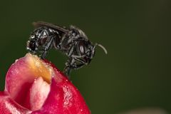 Cierre de polinización del extremo de la flor de Arapua de la abeja de los spinipes de Trigona para arriba Foto de archivo libre de regalías