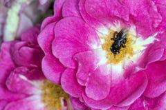 Cierre de polinización del extremo de la flor de Arapua de la abeja de los spinipes de Trigona para arriba Imagenes de archivo