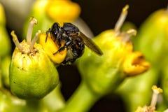 Cierre de polinización del extremo de la flor del spinipes- de la abeja Arapua - de Trigona para arriba - spinipes de Trigona de  Foto de archivo libre de regalías