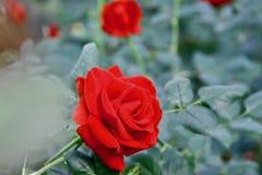 Cierre de Rose día de San Valentín encima de la foto imagen de archivo