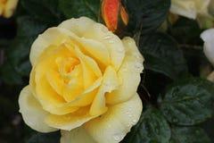 Cierre de Rose para arriba Foto de archivo