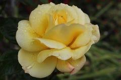 Cierre de Rose para arriba Foto de archivo libre de regalías