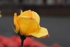 Cierre de Rose para arriba Fotos de archivo