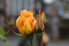 Cierre de Rose para arriba Fotografía de archivo libre de regalías