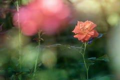 Cierre de Rose para arriba en fondo borroso Foto de archivo