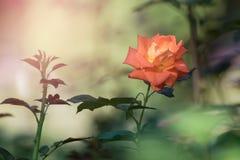 Cierre de Rose para arriba en fondo borroso Imagen de archivo libre de regalías