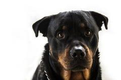 Cierre de Rottweiler para arriba Foto de archivo libre de regalías