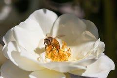 Cierre de una abeja que poliniza una flor blanca de la rosa Fotos de archivo