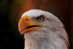 Cierre del águila calva para arriba imagenes de archivo