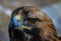 cierre del águila de oro para arriba foto de archivo libre de regalías